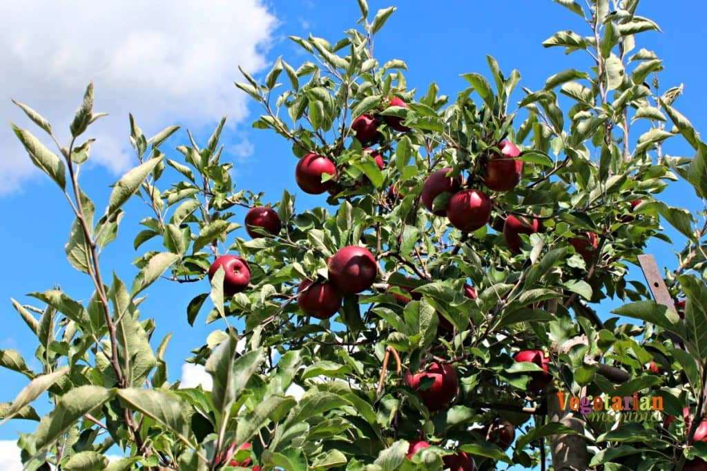 Red apples growing on an apple tree