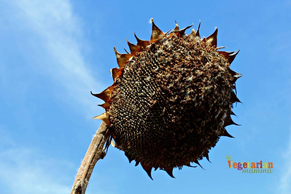 seed-to-sunbutter-vegetarianmamma-com-single-sunflower